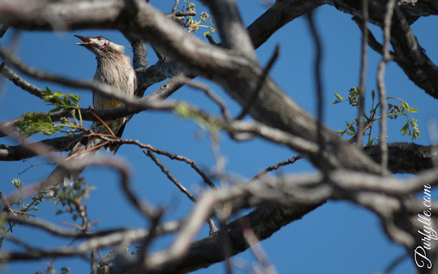 wattlebird singing to attract a mate