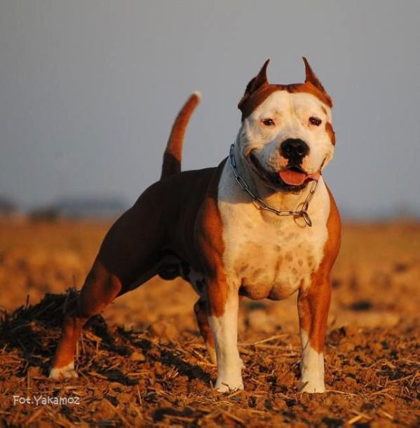 Free Pitbull Standard Dell American Pit Bull Terrier E