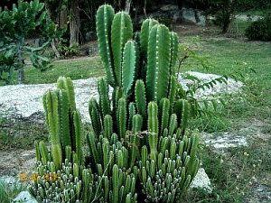 Kaktus - tanaman penangkal santet guna-guna ilmu hitam
