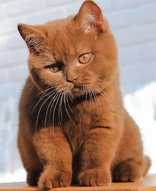 Cinnamon British shorthair cat