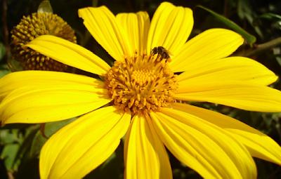 O Margaridão-amarelo é fonte de alimento para abelhas e pássaros