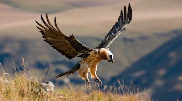 Αρπακτικά πτηνά μεταφέρονται από την Κρήτη στην ηπειρωτική Ελλάδα
