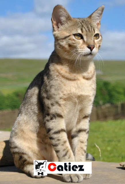 Egyptian Mau Cat - all you want to know about Egyptian Mau Cats