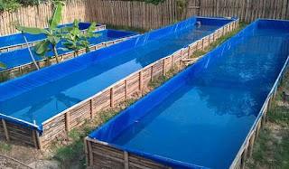 cara budidaya ikan gurame di kolam tembok,cara budidaya ikan gurame di kolam tanah,cara budidaya ikan gurame di kolam beton,pakan ikan gurame ,cara budidaya ikan gurame di kolam,
