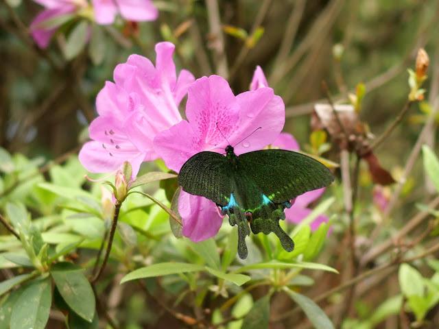 Paris peacock swallowtail butterfly on Baiyun Mountain in Wuzhou, China
