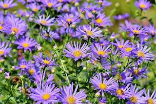 bunga pikok