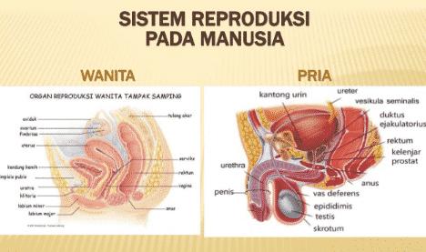 Organ-organ Penyusun Sistem Reproduksi Manusia