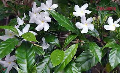 crape jasmine flower, crape jasmine