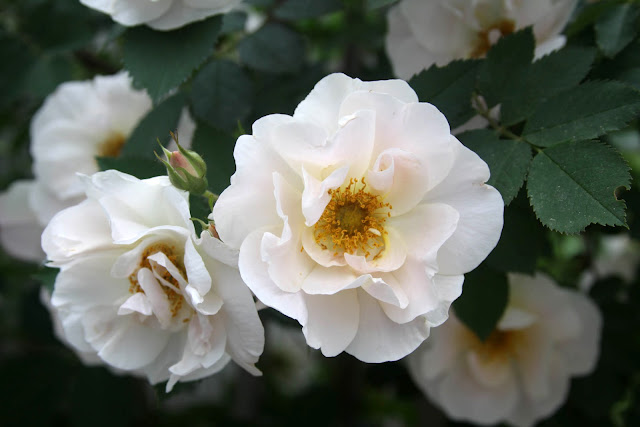 garden, roses, gardening, Above and Beyond, climbing roses, Anne Butera, My Giant Strawberry