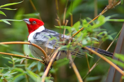 Red Cowled Cardinal Bird
