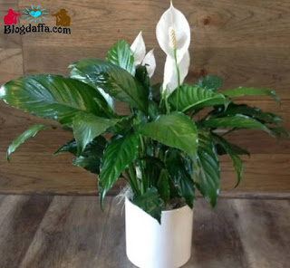 Tanaman hias bunga peace lily dapat digunakan sebagai pembersih udara