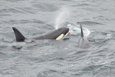 Orcas by Samuel Hood