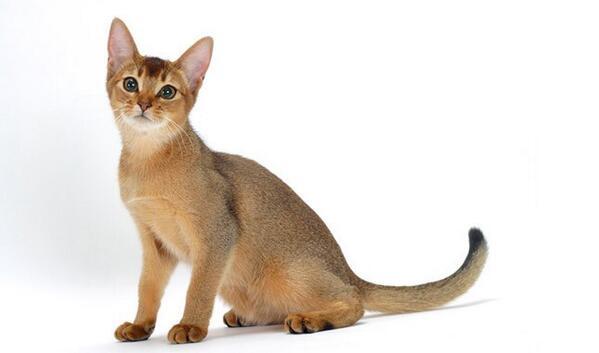 القط الحبشي الذكي وأهم مواصفاته