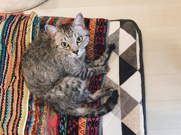 半乾きのサバトラ猫