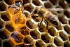 Επιστήμονες ανακάλυψαν γιατί το μέλι είναι το καλύτερο φυσικό αντιβιοτικό