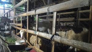 Kelebihan dan Kekurangan Usaha Ternak Kambing