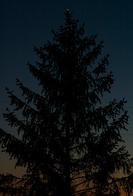venus pine tree twilight