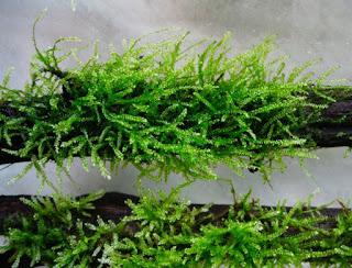 Java Moss untuk Aquascape