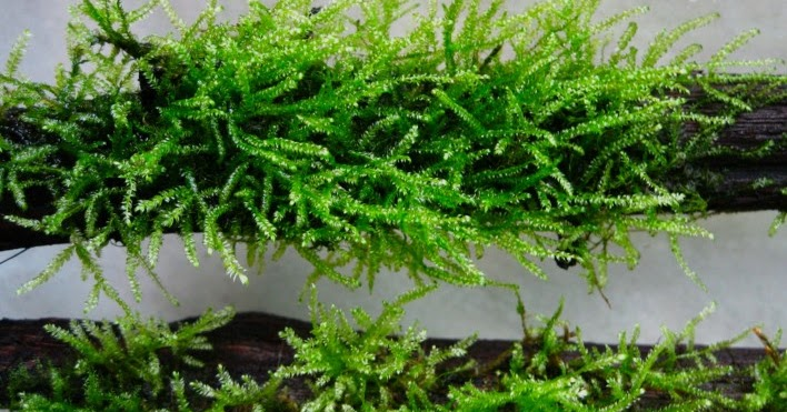 17 Jenis Moss Aquascape Untuk Dijadikan Karpet Atau Bonsai Lengkap Hobinatang