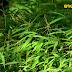"""ลุงจรูญ ประดับการ ปลูก """"หญ้าข่มคา"""" ในสวนปาล์ม ดินดี ผลผลิตสูง"""