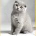 Inilah Deretan Kucing Tercantik dan Termahal Didunia