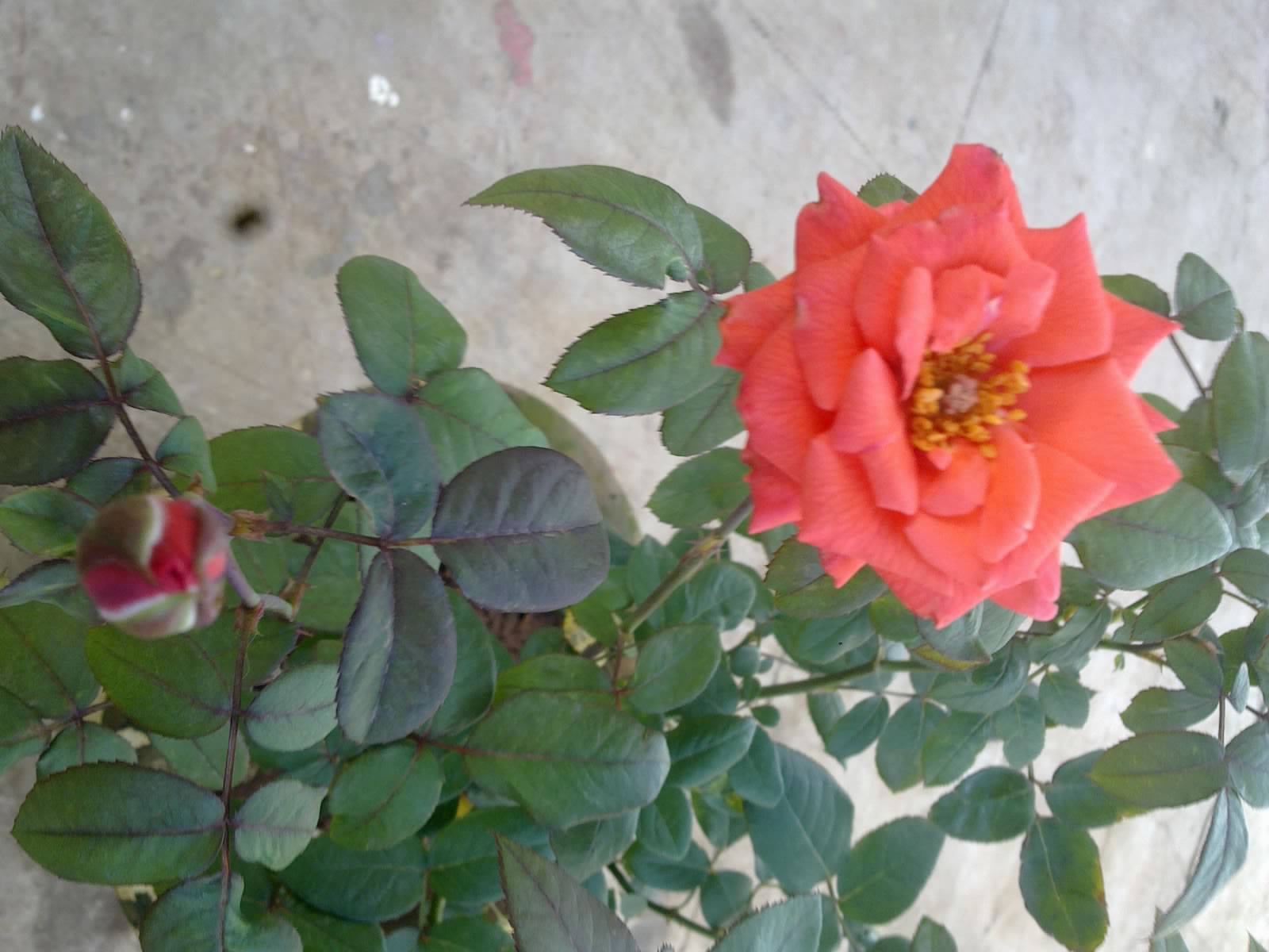 Roses In Garden: Plants Growing In My Potted Garden.: How To Choose And