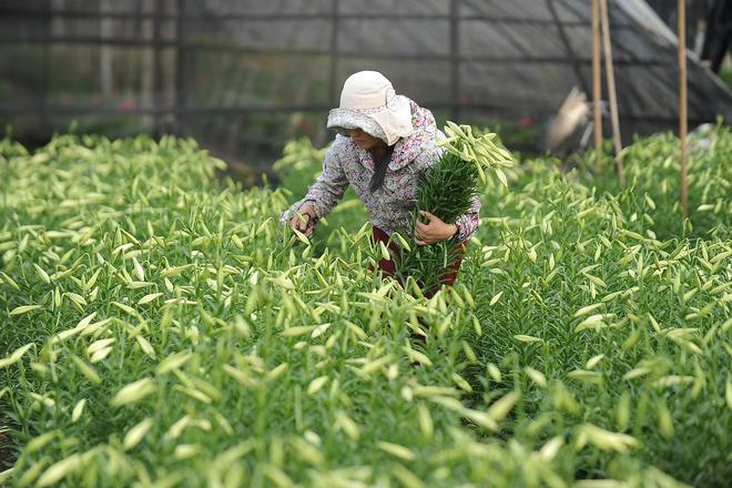 Tháng 4 là mùa hoa loa kèn ở Hà Nội