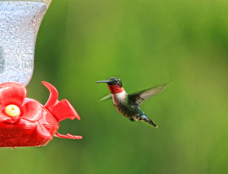 Ruby Throated Hummingbird Male And Female