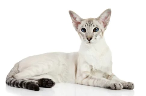 Oriental Bicolor cat - all you want to know about Oriental Bicolor cats