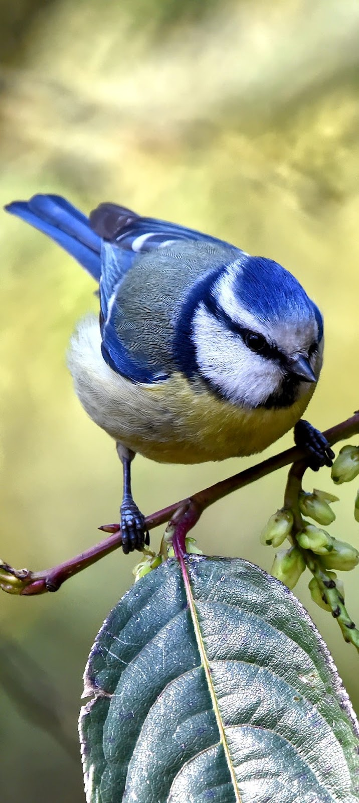 A beautiful blue tit.