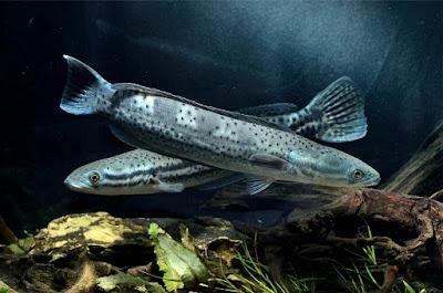 Ikan Channa Diplogramma