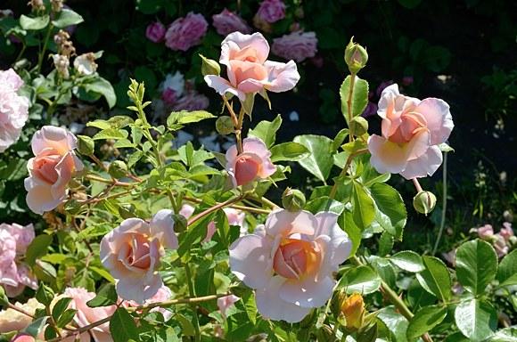 Elizabeth Stuart сорт розы фото купить саженцы Минск питомник