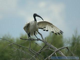 Threskiornis aethiopicus - Ibis sacré
