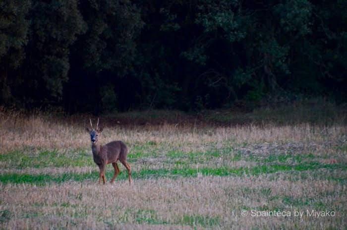 草原の中でこちらを見つめる一匹の鹿