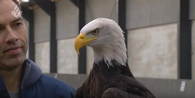 [HOLANDA] Águias são treinadas para capturarem drones ilegais