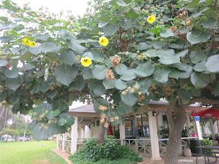 hau tree Hibiscus tiliaceus