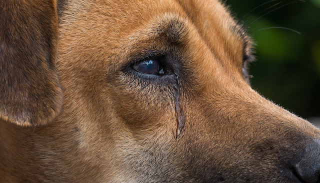 Why Is My Dog Crying: The Signs and Causes of Dog Crying