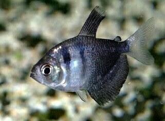ikan black tetra