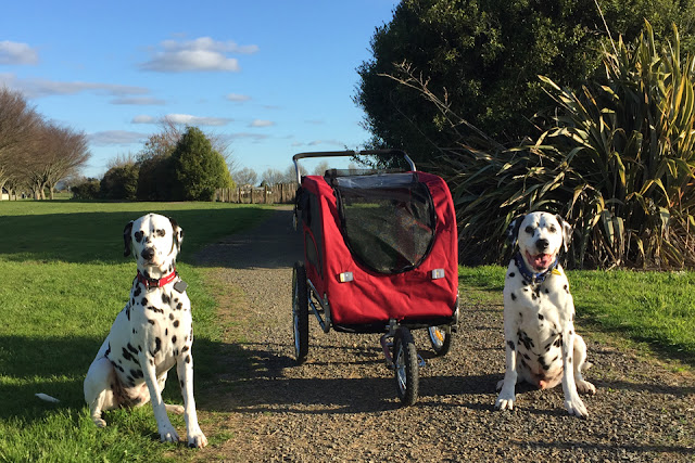 Two dalmatian dogs on a walking trail with a large dog stroller