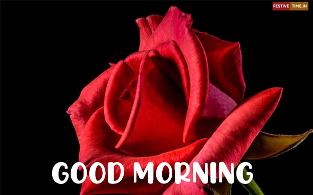 HD red rose good morning images Download
