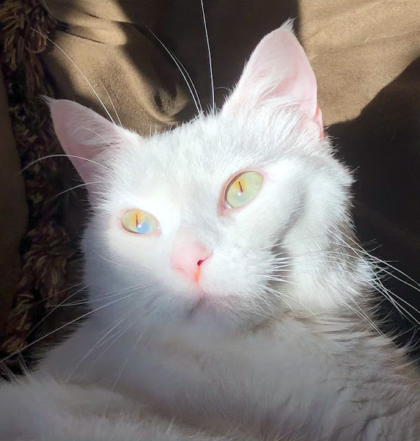Sectoral heterochromia in an all-white cat