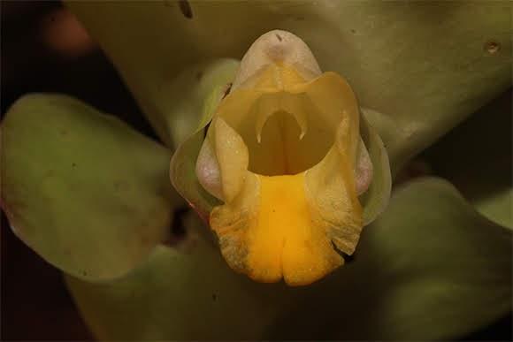 Curcuma aeruginosa