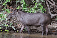 Tapir (Credit: Sharp Photography/Wikimedia Commons) Click to Enlarge.
