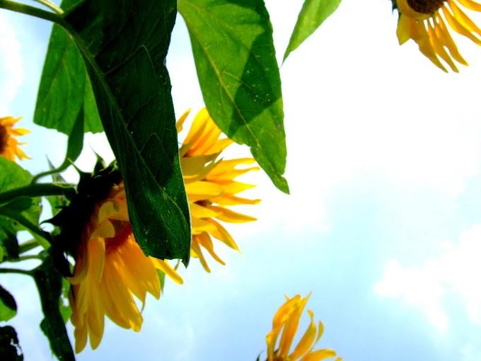 169 #ヒマワリ #花 #向日葵 #黄色