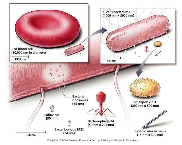 Perbandingan ukuran virus dengan bakteri dan sel darah merah
