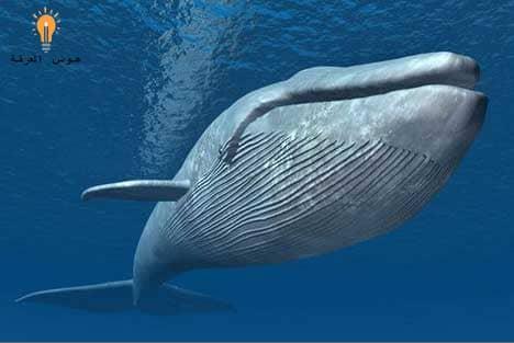 حقائق لا تصدق عن الحوت الأزرق – أضخم حيوان على الأرض
