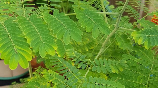 ใบต้นหางนกยูงไทย