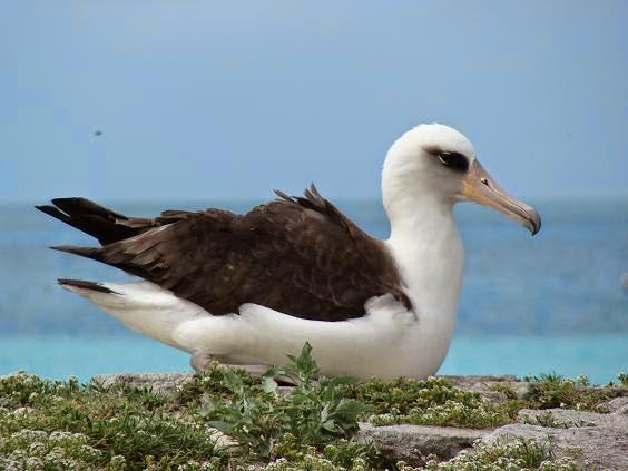 Imagen de un Albatros posado sobrre el suelo