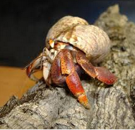 Kepiting Hermit Hewan Peliharaan Omivora Untuk Terarium bertarung