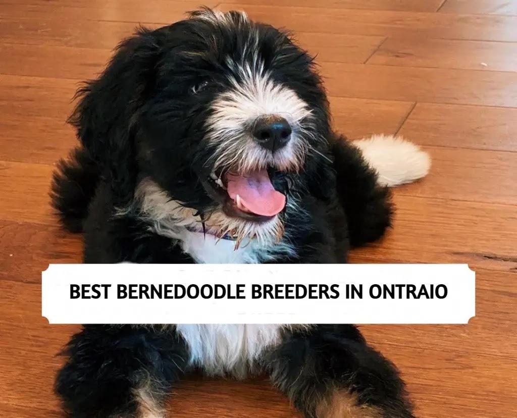 Bernedoodle Breeders in Ontario